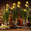 Close-up of potted daffodils in potting shed — Stock Photo