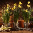 Close-up of potted daffodils in potting shed — Stockfoto