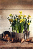 Potted daffodils wirh bulbs for planting — Stock Photo