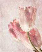 Closeup of tulips with vintage feeling — Photo