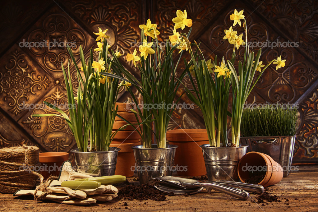 Close-up of potted yellow daffodils in potting shed — Stock Photo #9541370