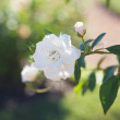 Background of beautiful roses in the garden — Stock Photo