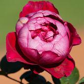 Tło, piękne róże w ogrodzie — Zdjęcie stockowe