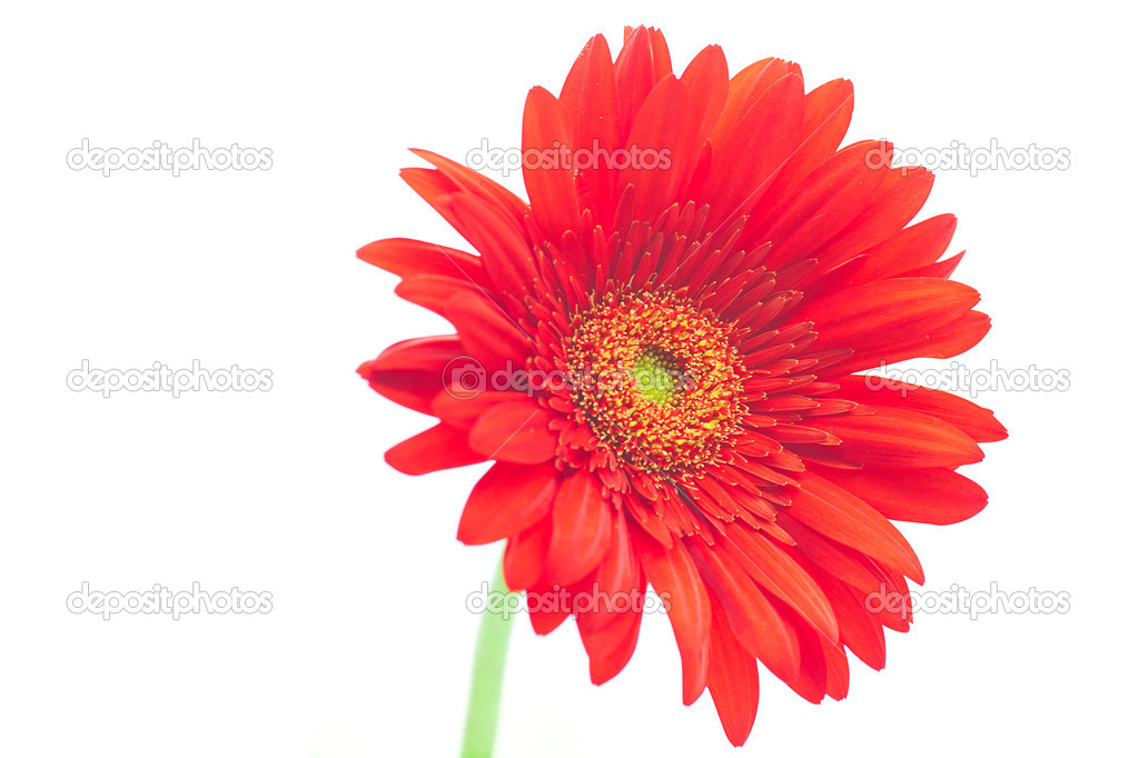 Red gerbera  isolated on white  Stock Photo #8057415