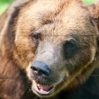 Brown bear on the nature - Stock Photo