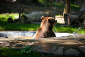 Brown bear on the nature — Stock Photo