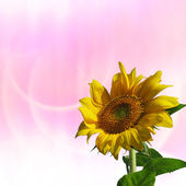 Sunflower with nice pink background — Stock Photo