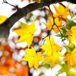 Autumnal maple leaves in blurred background, red foliage, sunlight — Stock Photo