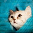 Scottish Fold cat looks at somewhere - Stock Photo