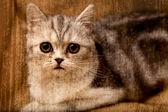 Scottish fold gatto guarda da qualche parte — Foto Stock