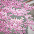 Постер, плакат: Cherry blossoms in full bloom