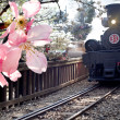 Royalty-Free Stock Photo: Steam train and cherry, Taiwan