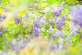 Wisteria floribunda with nice color — Stock Photo