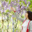 Wisteria floribunda with nice color - Stock Photo