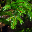 Wet fir tree — Stock Photo #8160547