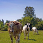 Three cows — Stock Photo