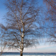 Wintry birches — Stock Photo