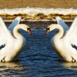 Two swans — Stock Photo #8161266