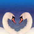 Swan love - Stock Photo