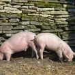 Two piglets eating - Stock Photo