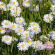 Meadow wildflowers — Stock Photo