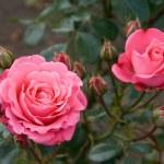 Bella Rosa Rose — Stock Photo