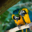 Blue-and-yellow Macaws - Stock Photo