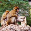 Barbary Macaques family — Stock Photo