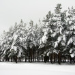 Snowy pine bluff — Stock Photo
