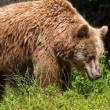 Brown bear — Stock Photo #8163226
