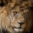 Portrait of lion — Stock Photo