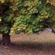 Stock Photo: Horse Chestnut Tree