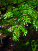 Wet fir tree — Stock Photo