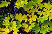 Foglie di acero in autunno — Foto Stock