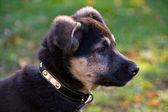Crossbreed Puppy — Stock Photo