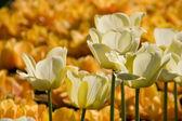 Weiße Tulpe blüht — Stockfoto