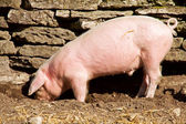 Feeding piglet — Stock Photo