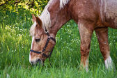 Horse grazing on grass — Stock Photo