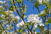 Apple tree blossoms — Stock Photo