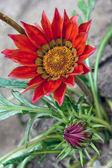 Fiore bella tesoro — Foto Stock