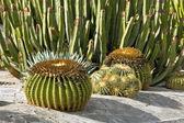 Kaktusy w gran canaria — Zdjęcie stockowe