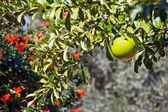 Calabash tree — Foto Stock