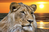 Portrait of lion — Stock Photo