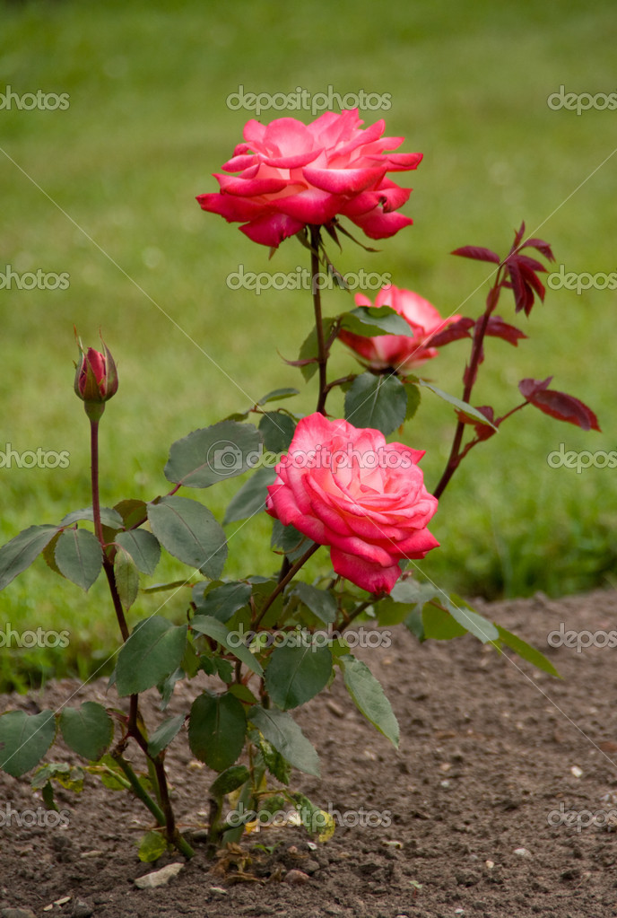 Beautiful pink rose blooming in flower bed  Stock Photo #8161762