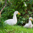 Stock Photo: Two white ducks