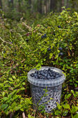 Blueberries in the Forest — Stock Photo