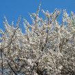 White Flowering Cherry Tree — Stock Photo