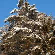 Christmas evergreen spruce tree with fresh snow — Stock Photo #9151217