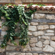 Stock Photo: Ivy Climbing The Old Wall
