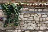 Ivy, die alte mauer klettern — Stockfoto